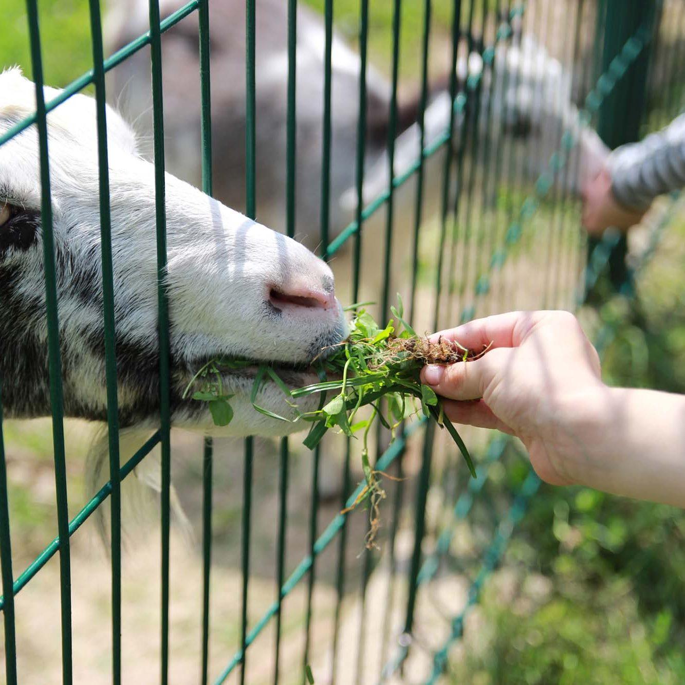 Children`s joy children feed goats in the zoo